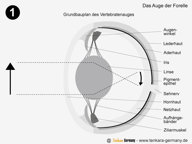 Der Grundbauplan des Fisch-Auges